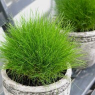 Festuca gautieri Green - Pack of THREE