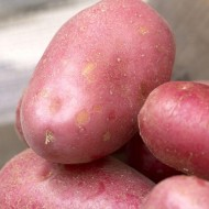 Red Duke of York - 1st Early Seed Potatoes - Pack of 10