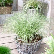 Carex comans Frosted Curls - Pack of THREE Plants