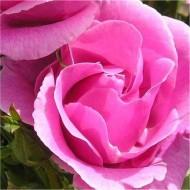 Rose Lucky - Floribunda Rose