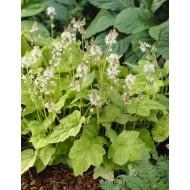 Tiarella wherryi - Foam Flower