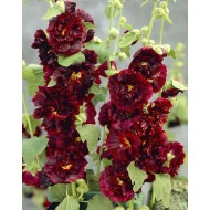 Alcea Chaters Double Purple - Hollyhock (Althea)