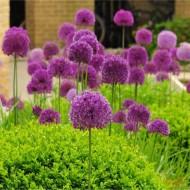 Allium hollanicum Purple Sensation Plants