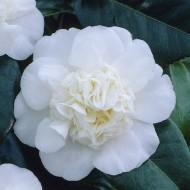 Camellia japonica Nobilissima - Sumptuous White Flowering Evergreen Camellia
