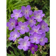 Geranium 'Johnson's Blue' - Hardy Blue Geranium