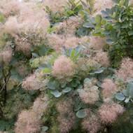 Cotinus coggygria Grace - Smoke Bush