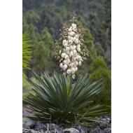 Yucca gloriosa - Hardy Green Yucca - Adams Needle - LARGE