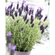 French Lavender - Lavender stoechas Midnight Purple - Pack of FIVE Plants