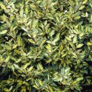 Elaeagnus maculata