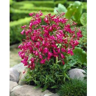 Penstemon Garnet - Beautiful Garnet-Red Penstemon