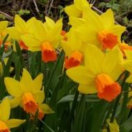 Jetfire Dwarf Daffodils in Bud