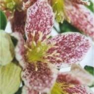 Clematis cirrhosa balearica Freckles