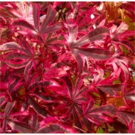 Acer palmatum Pink Passion - Striking Large Japanese Maple