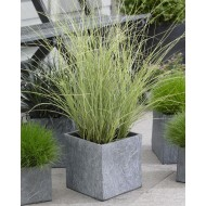 Miscanthus sinensis Morning Light - Japanese Silver Grass - LARGE SPECIMEN