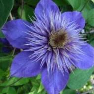 Clematis Multi-Blue