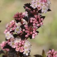 Physocarpus opulifolius Tiny Wine - Ninebark