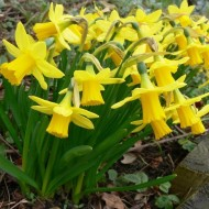 Tete a Tete Dwarf Daffodils - Pack of 150 Bulbs
