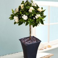 PRE-ORDER: Magnificently Fragranced Topiary Standard Gardenia Tree in Bud and Bloom
