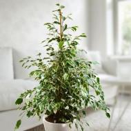 Ficus benjamina Twilight - Weeping Fig Tree - House Plant