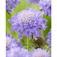 SPECIAL DEAL - Scabiosa columbaria Mariposa Blue - Butterfly Blue Pincushion Flower Scabious