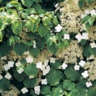 Hydrangea Petiolaris - Climbing Hydrangea