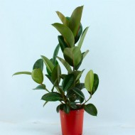 Ficus elastica Robusta - Rubber Plant circa 70cms