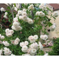 Rose Sombreuil  - Climbing Rose
