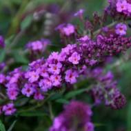 Buddleia Flutterby Petite Dark Pink - Dwarf Buddleja Butterfly Bush