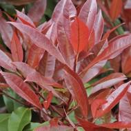 Photinia Red Robin - EXTRA LARGE Evergreen Specimen - 150-200cm