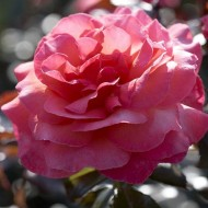 Rose Braveheart - Floribunda Hybrid Tea Bush Rose