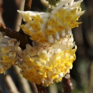 Edgeworthia chrysantha grandiflora - Edgworthia Paperbush
