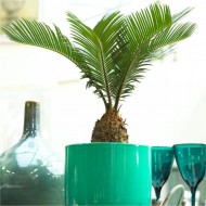 Baby Cycad - Cycas revoluta - King Sago Palm Tree - ideal for windowsill 20-30cm