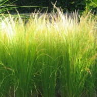 Stipa tenuissima Ponytails - Pack of THREE Mexican Feather Grass Plants