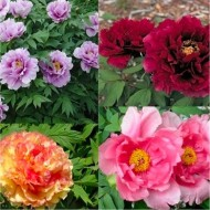 Tree Peony Collection - Selection of THREE Plants - Paeonia suffruticosa Peonies in Mixed Colours