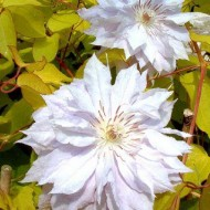 Clematis Celebration - NEW & EXCLUSIVE - A rare beauty to light up your Garden