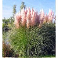 PINK Pampas Grass - Cortaderia selloana rosea