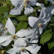 Clematis jackmanii Forever Friends - Summer Flowering Clematis