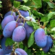 Patio Fruit Tree - Compact Czar Plum Tree