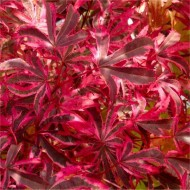 Acer palmatum Pink Passion - Striking Japanese Maple Shirazz