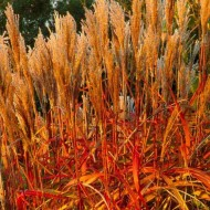 Miscanthus Indian Summer - Pack of THREE Amazing Autumnal Colour Graziella Grasses