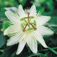 Passiflora caerulea Constance Eliott - Passion Flower Constance Elliot - White Passiflora