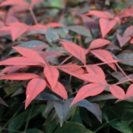 Nandina domestica Flirt - New Compact Heavenly Bamboo