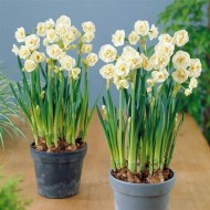 SPECIAL DEAL - Narcissus Bridal Crown - Fragrant Double Flowering Paperwhite Daffodils