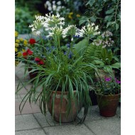 Agapanthus albus - Silver Lining - White Lily of the Nile Plants