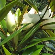 Magnolia grandiflora Galissoniere - Bull Bay