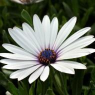 Osteospermum White Pixie - Hardy White Cape Daisy