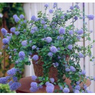 SPECIAL DEAL Ceanothus thyrsiflorus repens - Californian Lilac - Pack of THREE Plants