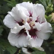 Hibiscus syriacus Speciosus