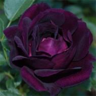 Rose Midnight Blue - Shrub Rose