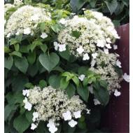 Hydrangea petiolaris - Climbing Hydrangea - 5-6ft Specimen Climber